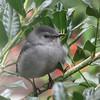 View Through My Kitchen Window - Gray Catbird