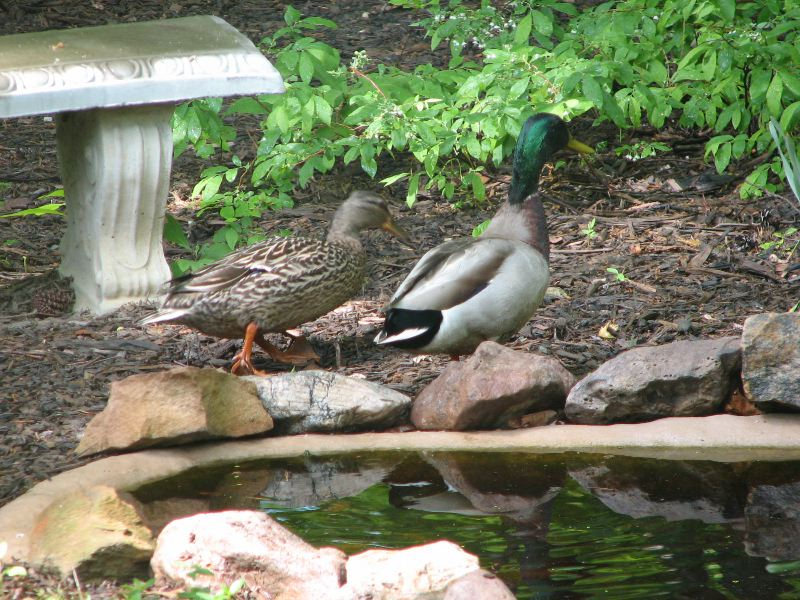 Time for Mr. and Mrs. Mallard to Move On - What A Delightful Event