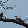 I Think Mrs. Flicker LIkes What She Hears - Female and Male Northern Flicker