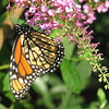 Monarch Butterfly On Pink Butterfly Bush