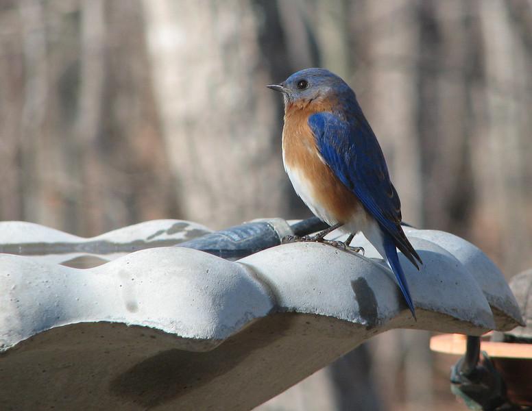 I'm a Pretty Bluebird - Male Eastern Bluebird