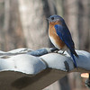 I'm a Pretty Bluebird - Male Eastern Bluebird