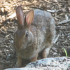 Fresh Little Bunny Outside Guest Room Eating Sunflower Seeds - Eastern Cottontail Rabbit