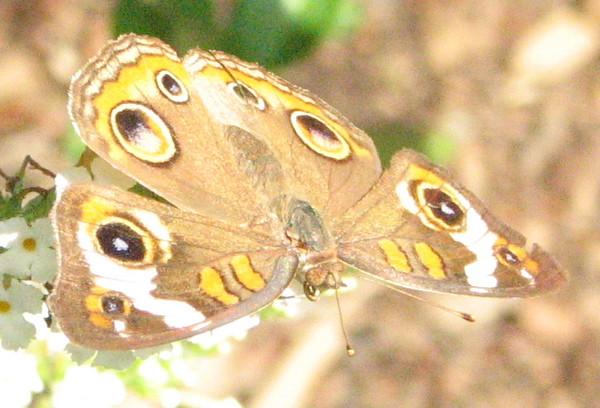 Buckeye Butterfly Close-up