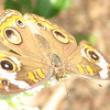 Buckeye Butterfly Close-up