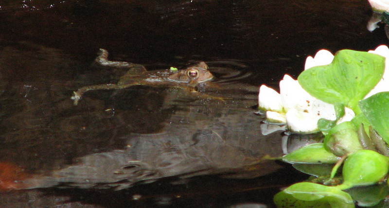 I Give Swimming Lessons- American Toad in Pond