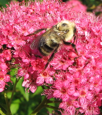 Or Maybe The Bee Had Two Wings But Was Deformed - He Couldn't Fly So I Placed Him on a Spirea Bush