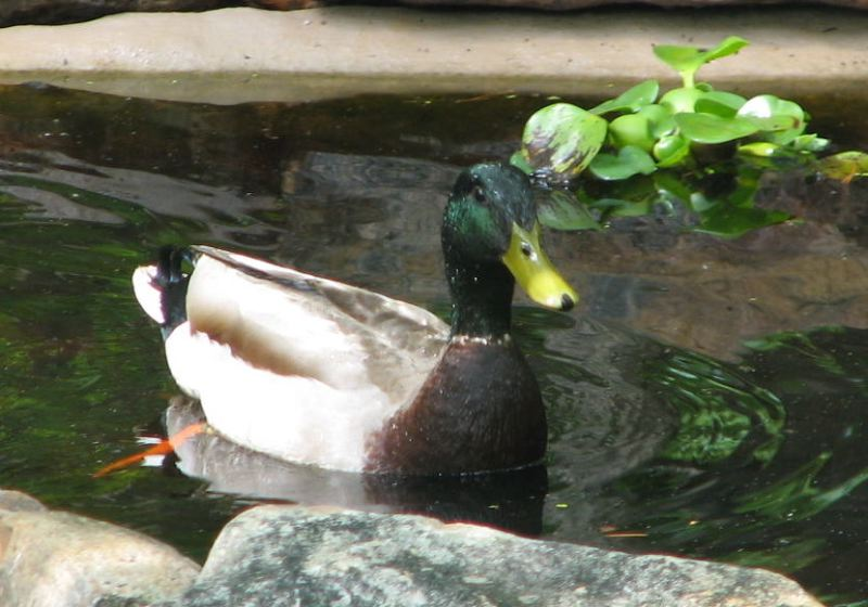 Can You Believe I Am Real, Says Mr. Mallard Duck
