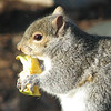 This is Really a Mouthful - Eastern Gray Squirrel