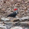 Who's That Pretty Bird in the Water - Male Pileated Woodpecker