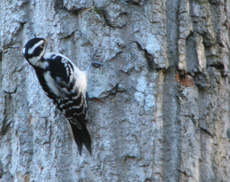 Hairy Woodpecker on the Dead Double Tree Out Back