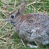 Cute As a Button - Eastern Cottontail Rabbit