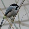 Please Take My Other Side - Black-capped Chickadee