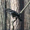 Singing American Crow