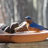 Hey Who Let The Turtle In - Male Eastern Bluebird