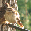 He's Never Seen a Camera Before - Carolina Wren Fledgling