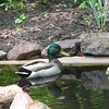One More Swim Around for the Camera - Isn't He Smiling - Male Mallard Duck<br /> Last comment 05-17-2006