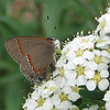 Red-banded Hairstreak Butterfly - First One for Bluebird Cove