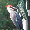 Powerful Legs on Pileated Woodpecker