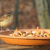"""Carolina Wren on The New Nut and Fruit Mix on Deck Saying, """"Who Needs Nuts! Where's the Bugs?"""""""