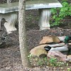 Mrs. Mallard Says, Come On Honey, It's Time to Waddle On