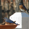 Papa and Baby Boy Bluebirds - Papa Gets to Eat First
