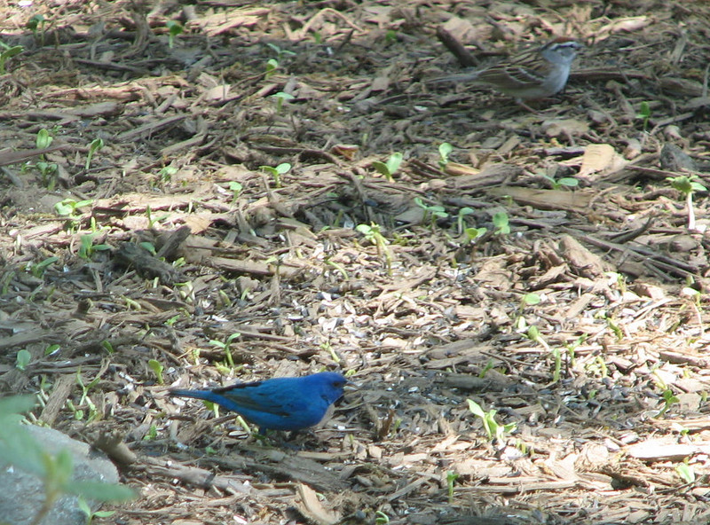 Indigo Bunting and Chipping Sparrow