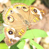 Close-up of Buckeye Butterfly on White Butterfly Bush