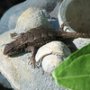 Happy Eastern Fence Lizard on Frog Face