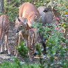 Precious Scenes of Backyard Wildlife - Deer