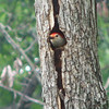 Peek-a-Boo Red-bellied Woodpecker