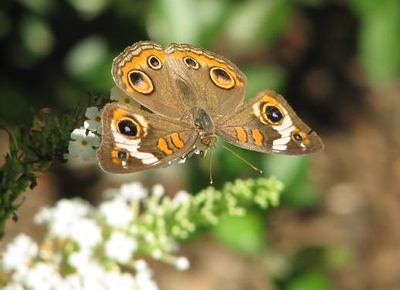 Buckeye Butterfly - First One Observed at Bluebird Cove