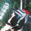 Such a Big Beak in the Suet Feeder on Pileated Woodpecker