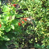 Female Ruby-throated Hummingbird on Salvias