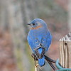 So You Can't Get Him Outa There Either Missy - Male Eastern Bluebird