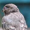 Close-up of House Finch Eye Disease