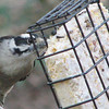 Yummy Suet for the Downy Woodpecker