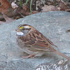 First Year White-throated Sparrow