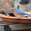 I See Some Mealworms Under This Turtle - Male Eastern Bluebird