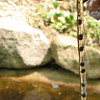American Toad Eggs in Our Pond - April 27 - String of Black Pearls
