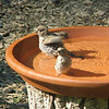 Time for Our Bath - Is Anybody Looking - Female House Finches - Maybe Juveniles