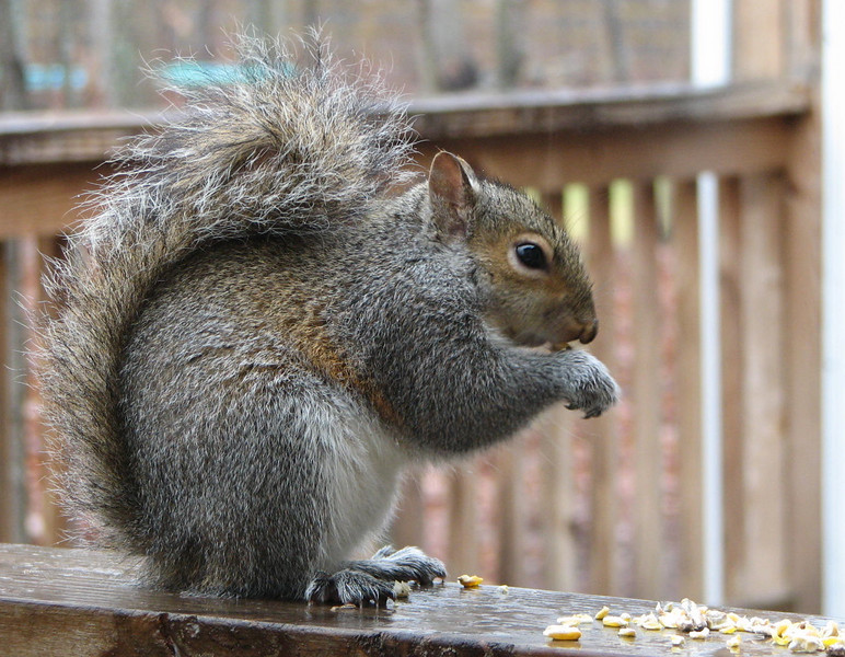Rain Snow Sleet or Hail - I'm Here to Eat - Eastern Gray Squirrel