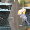 The Difficult Choices in Life for a Bluebird - Which Feeder - Where Are the Bugs
