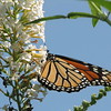 Monarch Butterfly On White Butterfly Bush
