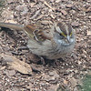 Poor Baby - Injured White-throated Sparrow