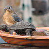 I Thought You Were Going to Take Care of the Turtle, Honey - Female Eastern Bluebird