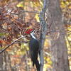 Pileated Woodpecker With Fall Colors Behind - Nov. 6