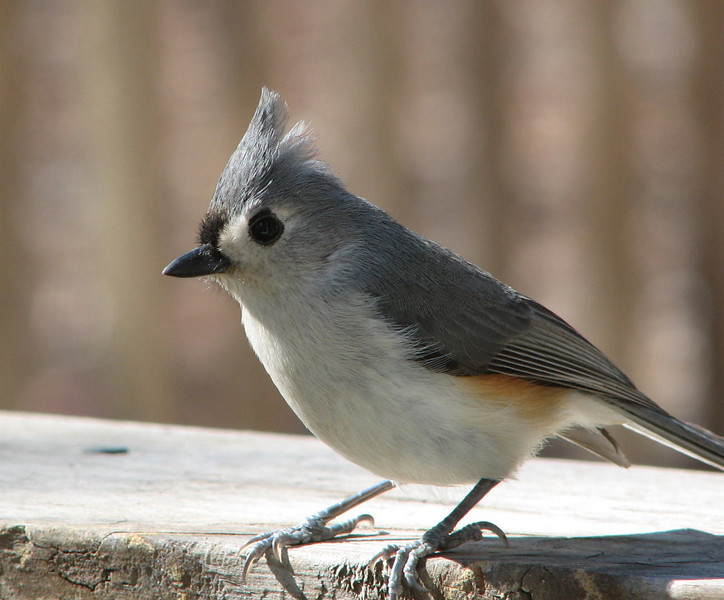 She Can't Resist My Fancy Hairdo - Tufted Titmouse