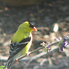 Uh oh, We've Been Caught - Male American Goldfinch