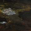American Toads Mating 4-22